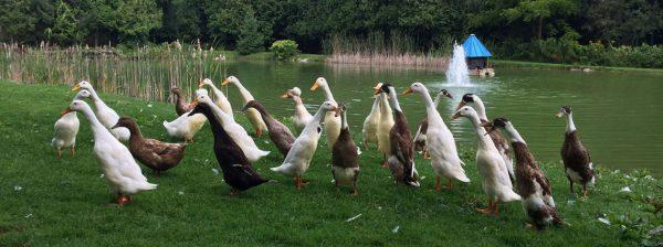 Ducks at Cedar Park Pond